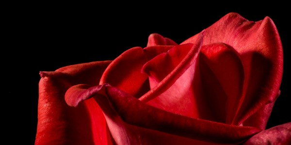 rote-rosen_1